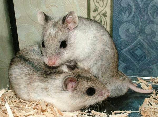 Hamster chinois