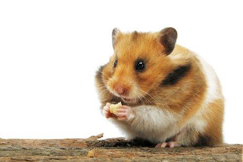 Hamster doré/syrien