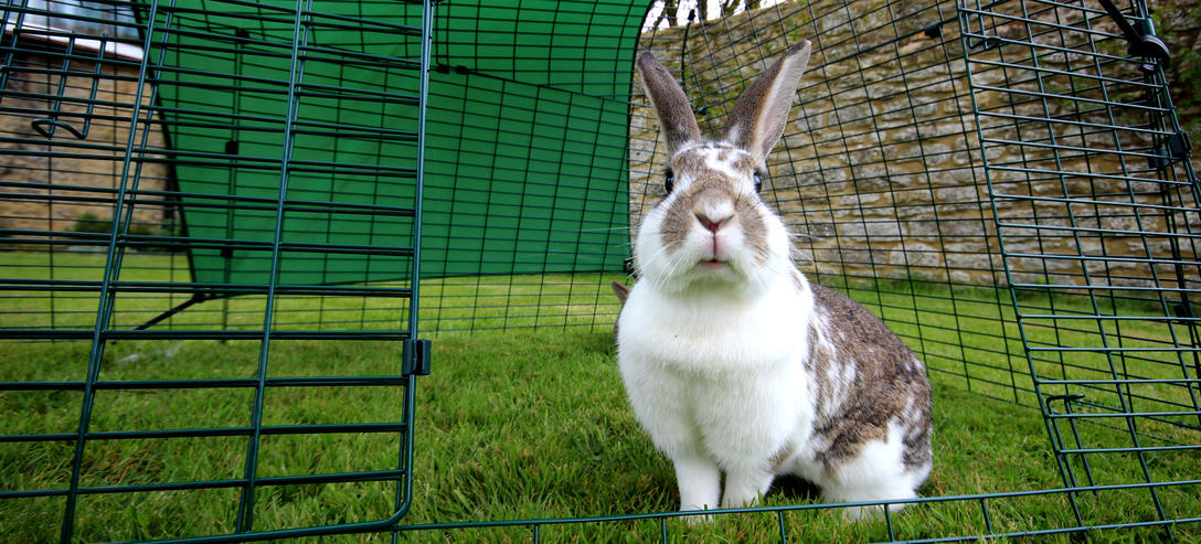 eglu_go_rabbit_hutch_rabbit_in_run_looking_inquisitive
