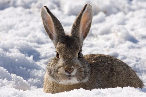 lapin-des-neiges-saint-lary