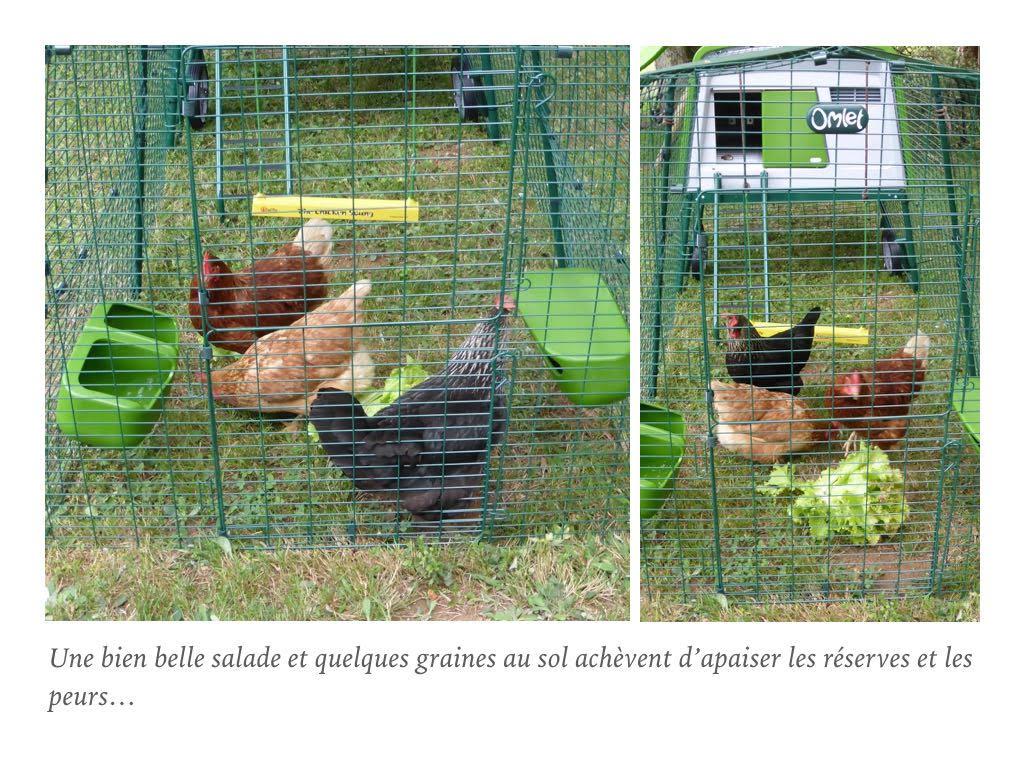 poules-qui-mangent-de-la-salade