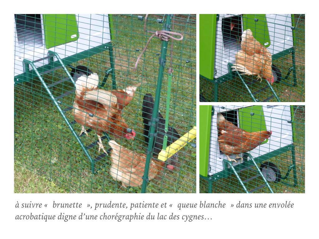 poules-sur-une-echelle