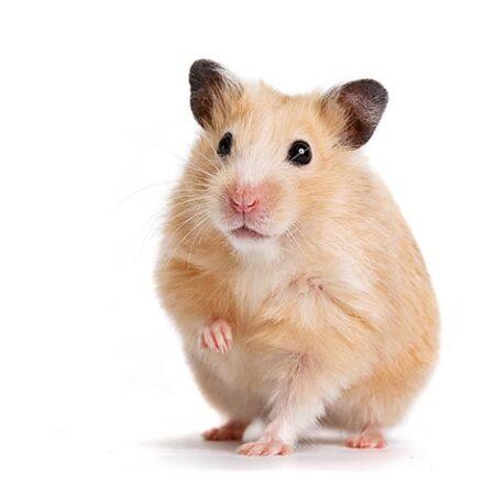 Un hamster avec une patte avant levée