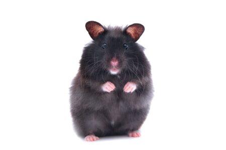 Un hamster noir debout sur ses pattes