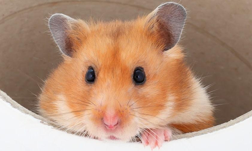 Un hamster qui regarde à travers un tunnel