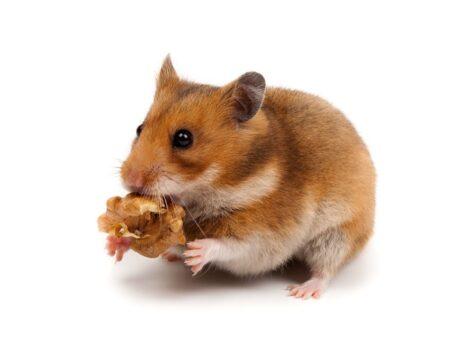 Un hamster qui tient une friandise