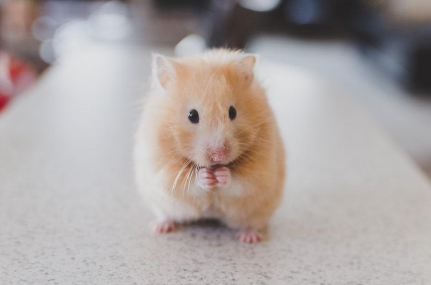 Un hamster qui se tient sur ses pattes arrière