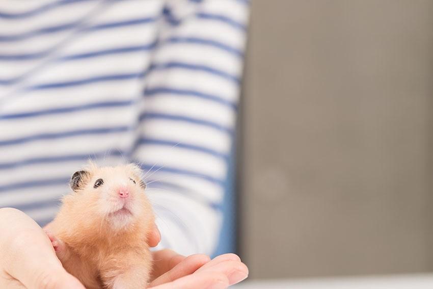 Un hamster tout mignon dans les mains de quelqu'un