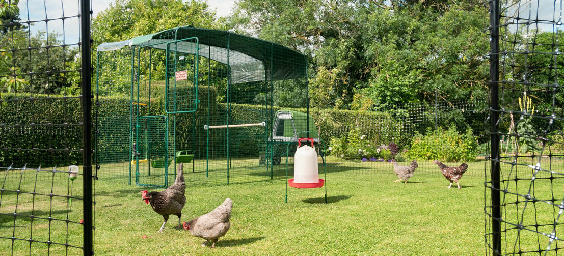 Quatre poules dehors dans leur enclos