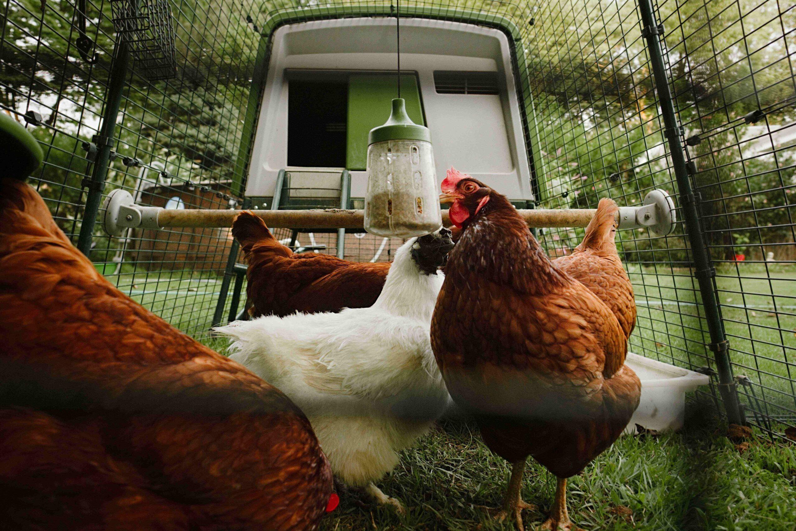 Quatre poules dans leur enclos avec le jouet à picorer d'Omlet