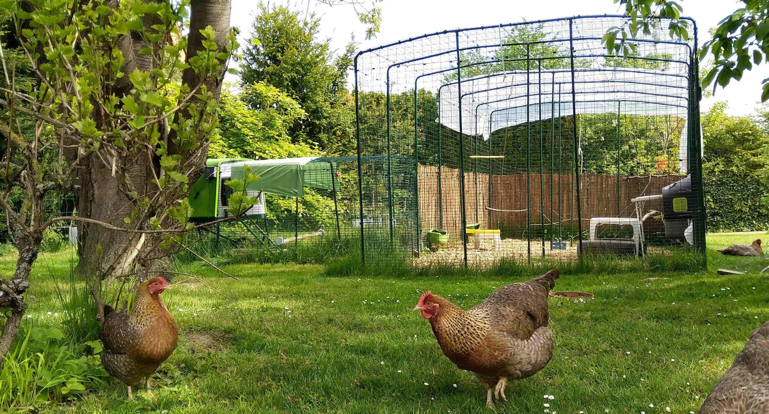 Deux poules en extérieur dans un Grand Enclos Omlet