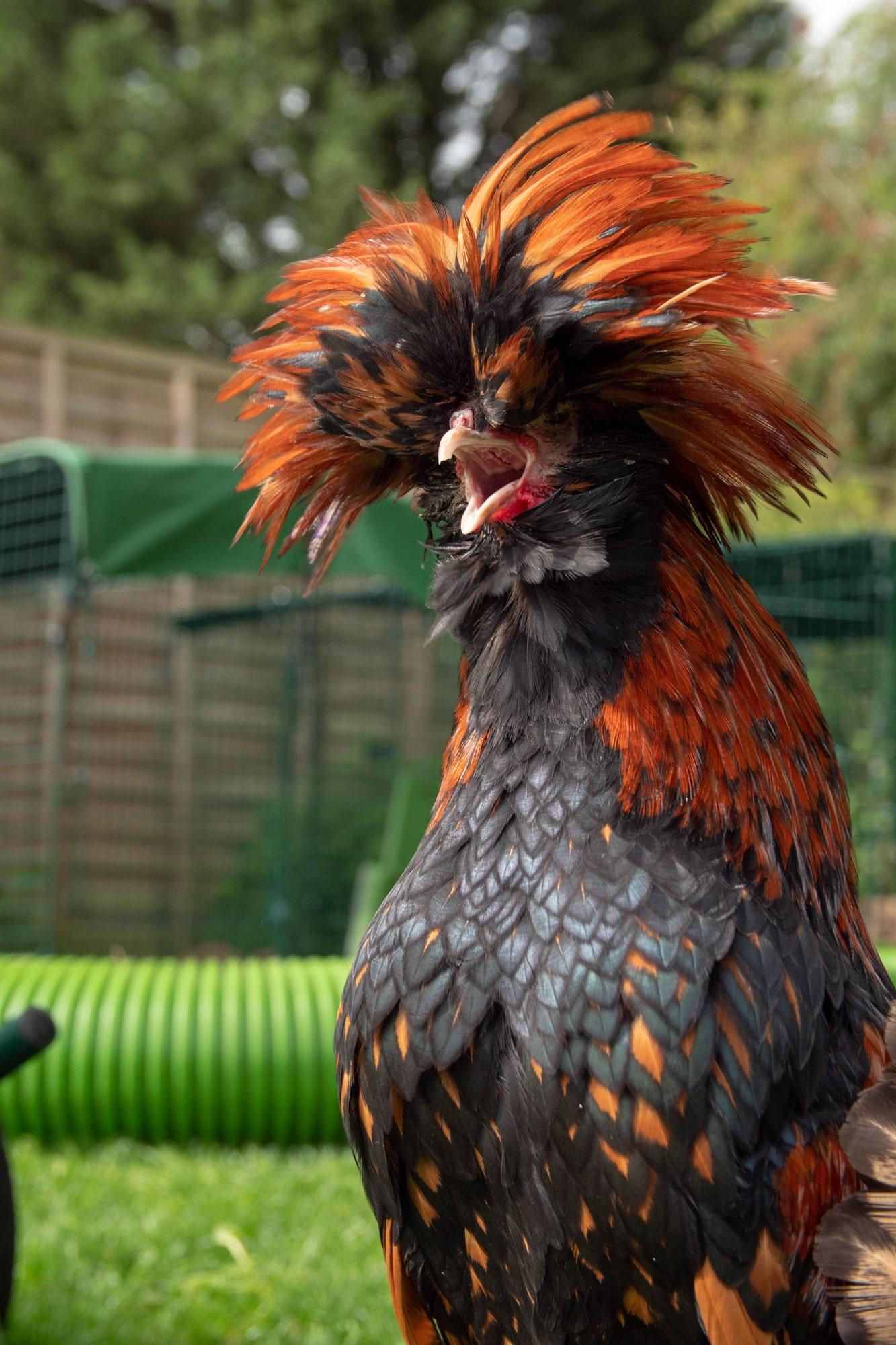 Une poule noire et orange à poils longs avec le bec grand ouvert