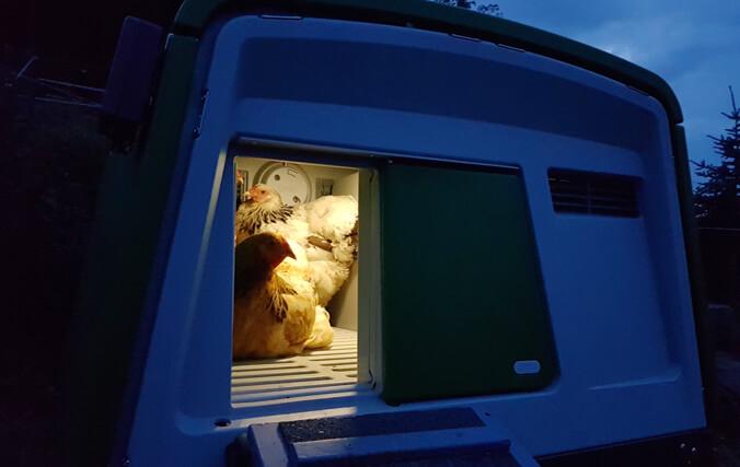 Des poules dans le poulailler Egu d'Omlet le soir