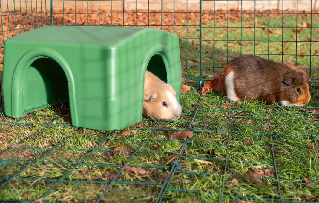Deux cochons d'Inde marrons dans un enclos, dont un sous un abri Zippi d'Omlet