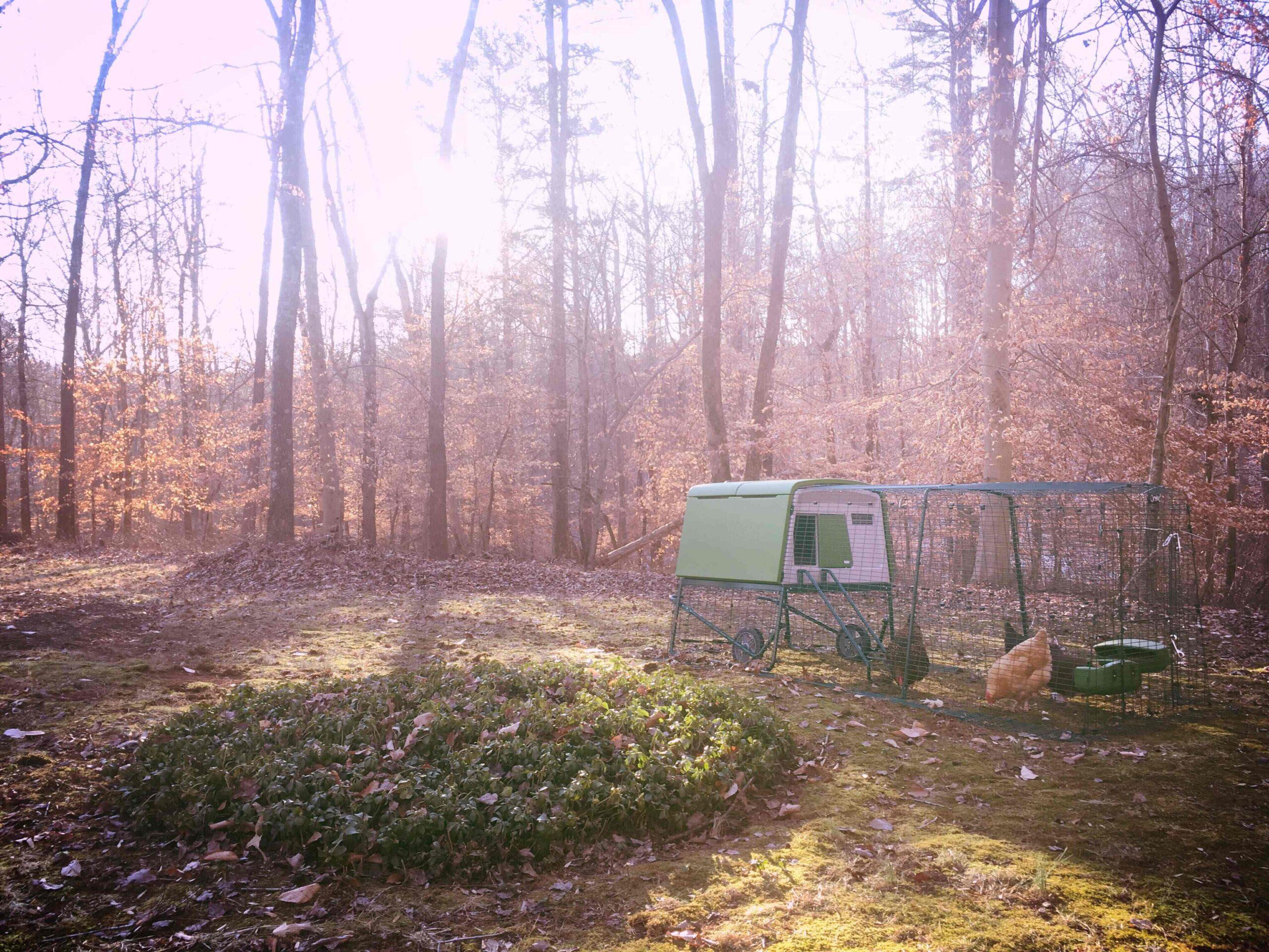 Les poules en automne dans leur poulailler près des bois