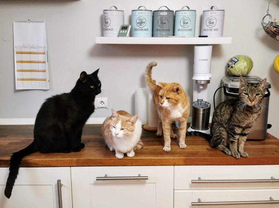 Quatres types de chats différents sur un comptoir de cuisine