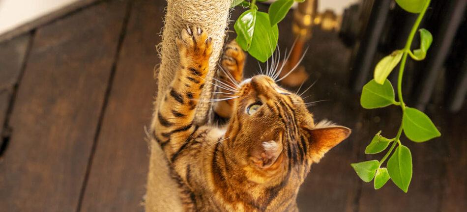 Un chat Bengal qui observe l'environnement depuis le griffoir de son arbre à chat Freestyle d'Omlet