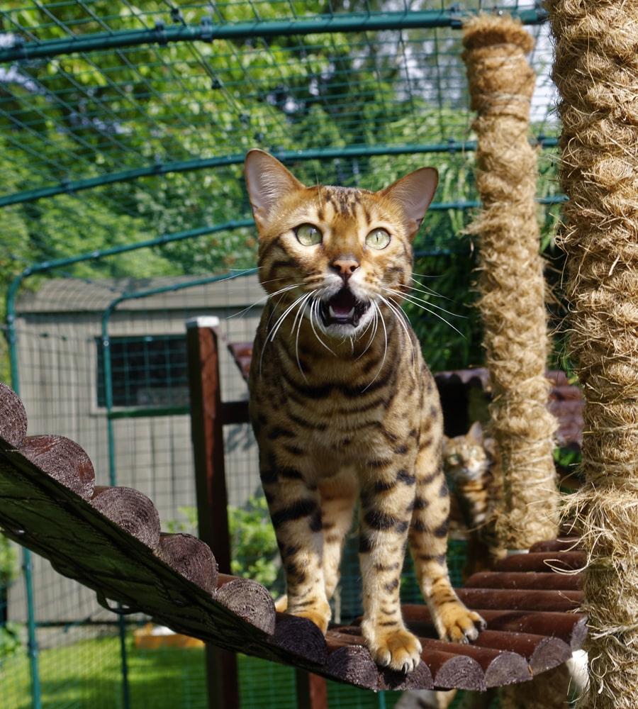 Un chat Bengal qui se promène dans un enclos pour chat d'Omlet