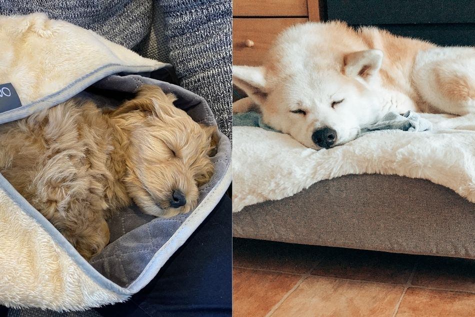 deux chiens qui se reposent après leur promenade en automne
