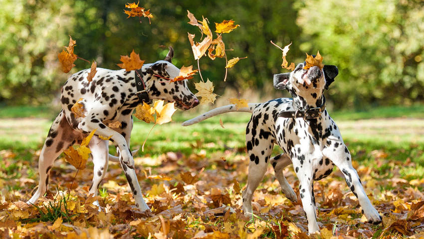 deux dalmatiens qui jouent dans les feuilles d'automne