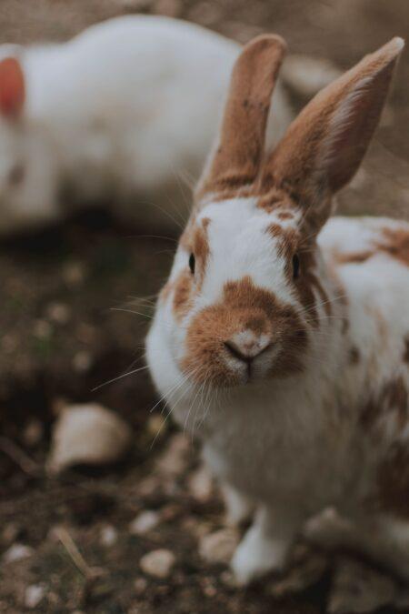 lapin blanc et marron avec les oreilles relevées