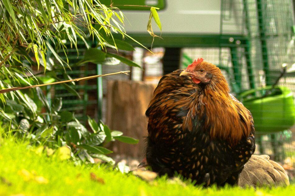 laquelle des poules est pondeuse, poule brune