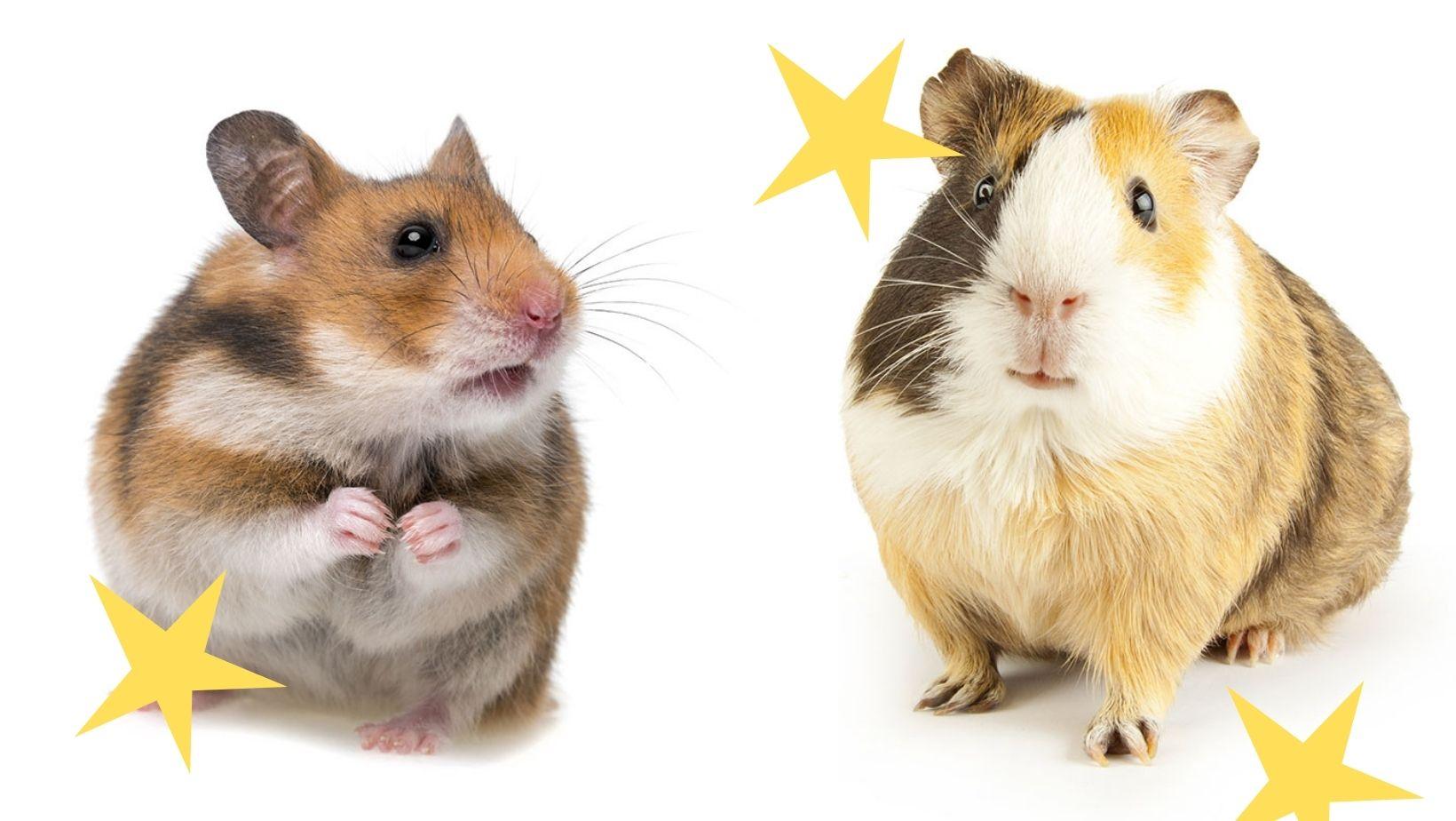 les differences entre les hamsters et les cochons dInde