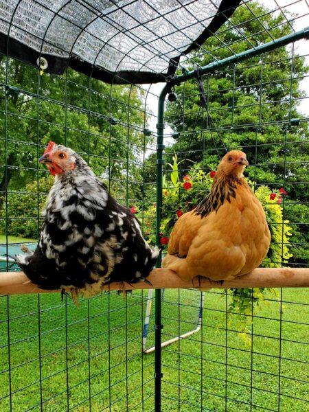 savoir laquelle des poules pond sur le perchoir