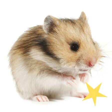 un hamster trop mignon qui se nettoie