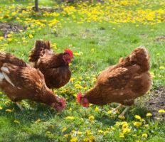 Trois poules marrons dans un champ
